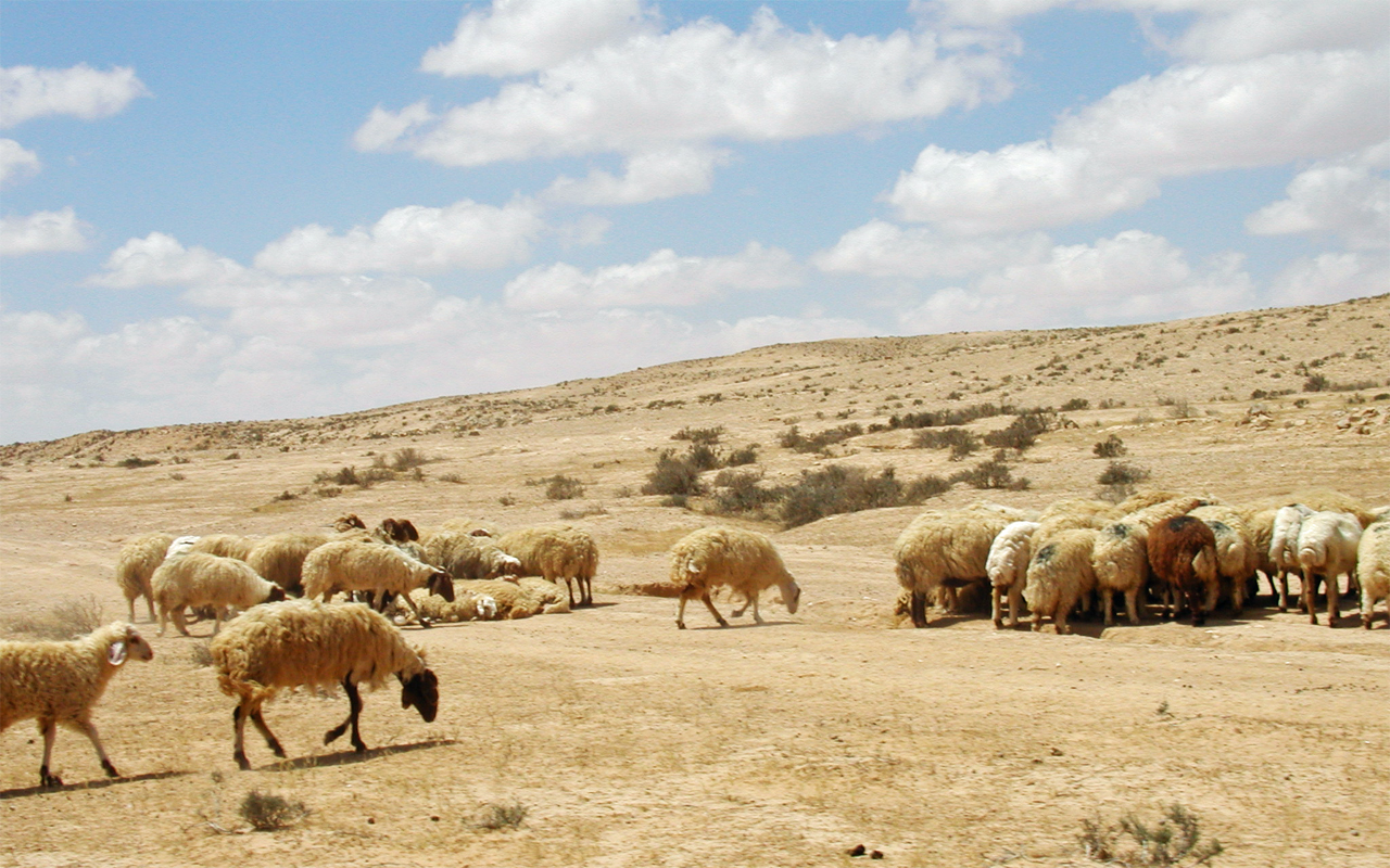 sheep flock israel